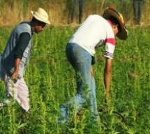 البراءة لأب طالبين قاعديين من تاونات من تهمة زراعة الكيف