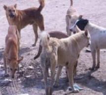 الكلاب الضالة من جديد تجوب شوارع تيسة بإقليم تاونات