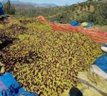 إنتاج الزيتون بتاونات ثروة بين الحاجة إلى التأهيل وتحديات المحافظة على البيئة
