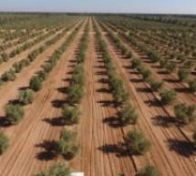 غرس 13 ألف هكتار من أشجار الزيتون في 2021 باقليم تاونات