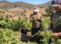 """دراسة تتوقع أن يذر """"الكيف"""" على المغرب عائدات تصل لـ10ملايير دولار بحلول 2023"""